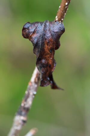 Faded Lavender Leaf in Winter. Macro
