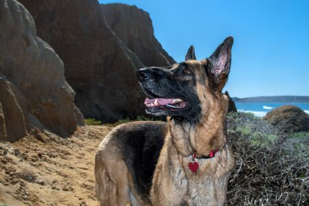 German Shepherd Dog standing on the beach at the California Coast. GDS with traditional colors. Reklamní fotografie
