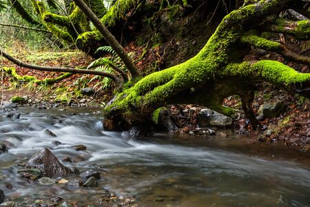 Mossy tree on a stream at Sugarloaf Ridge State Park, Sonoma County, California Reklamní fotografie