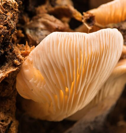 California Fungi Mushroom Macro on brown background at Sugarloaf State Park California.