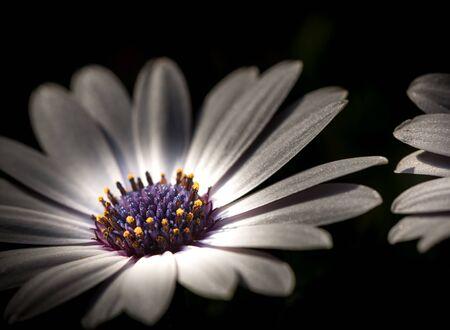 White daisy with purple middle. Close up. Osteospermum fruticosum. Artistic White flower on black background