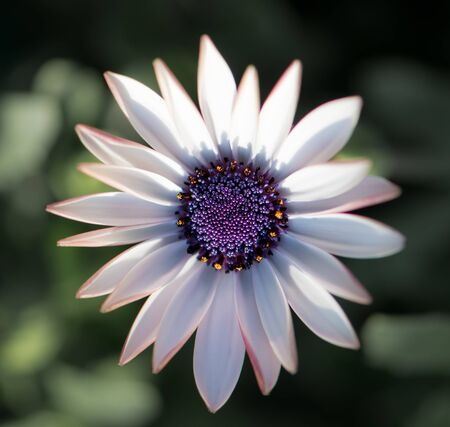 White daisy with purple middle. Close up. Osteospermum fruticosum. White flower with green blurry background