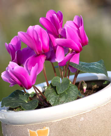 pink cyclamen flower in clay flower pot with blurred green background