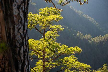 The woods Cumbrecita mountains in the Caldera de taburiente national park Reklamní fotografie