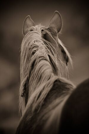 black and white image of quarter horse from behind photo