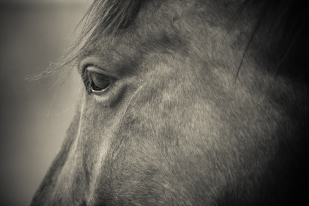 quarter horse: close up image of horse eye looking to the side in black and white