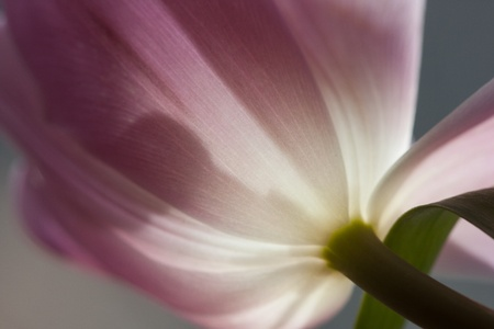 violet tulip with sunshine light hitting the petals in backlight Stock Photo - 20776298
