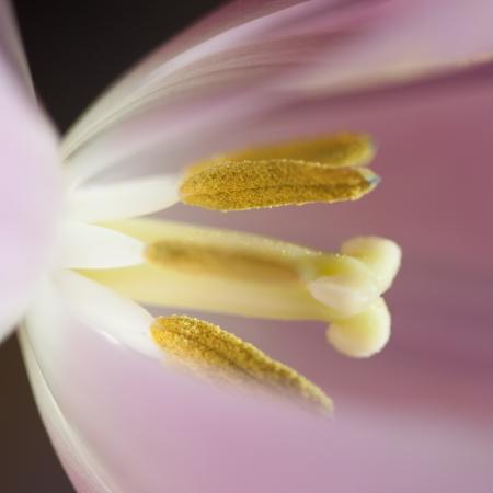 sidelit: single pink tulip sidelit by morning sun