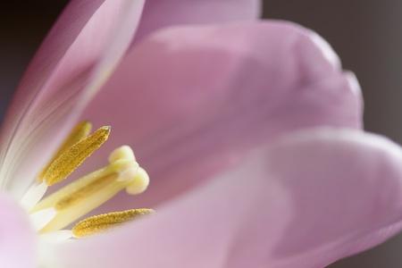 sidelit: Sidelit tulip in the window in the sunshine light Stock Photo