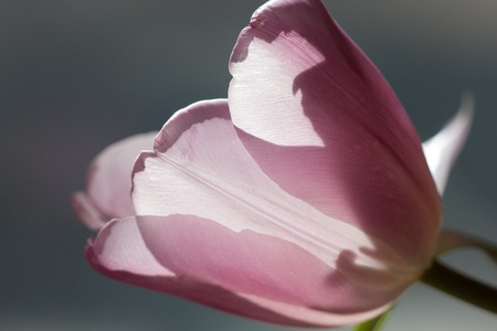 tight close-up of violet tulip against window light with gray background photo