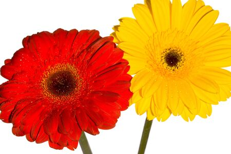 Red and yellow Gerbera flower with water droplets Stock Photo - 4661904