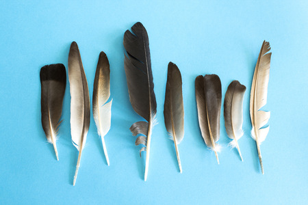 pigeon: Pigeon feathers on a blue background.