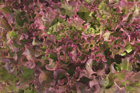 rosa: Red coral lettuce - Lola Rosa.