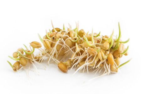 sprouted: Sprouted wheat on a white background.