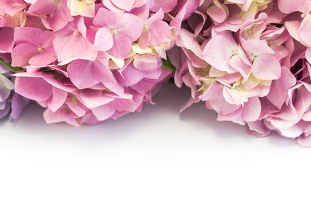 Hydrangea Flowers Isolated on White. Standard-Bild