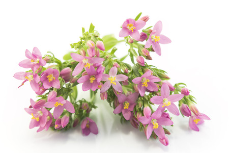 Common Centaury ( Centaurium Erythraea ) Flowers.