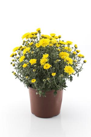 Gelbe Chrysantheme Topf getrennt auf Weiß Standard-Bild - 62153536