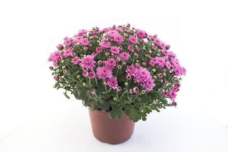 Pink Chrysanthemum Potted on White Background.