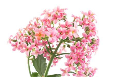 Pink Kalanchoe on White Background.
