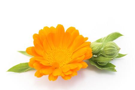 메리 골드, 금 송 화 Officinalis, 화이트에 격리.