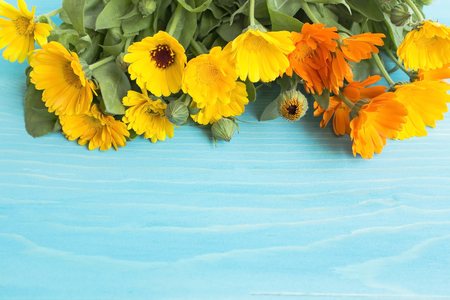 longevity drugs: Marigold, Calendula Officinalis with Copy Space on a Blue Wooden Background.