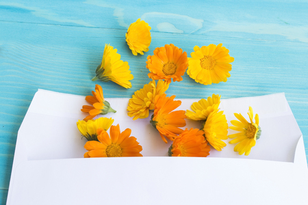 Marigold in the Envelope for Letter on a Blue Wooden Background. Stock Photo