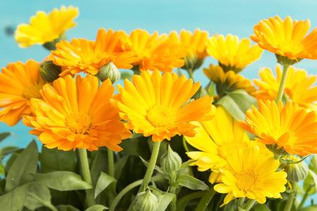 longevity drugs: Marigold, Calendula Officinalis on a Blue Background. Stock Photo