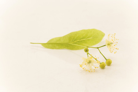 Linden Flowers on a White Background. Standard-Bild - 101547913
