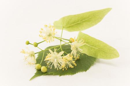 Linden Flowers on a White Background. Standard-Bild - 101554510