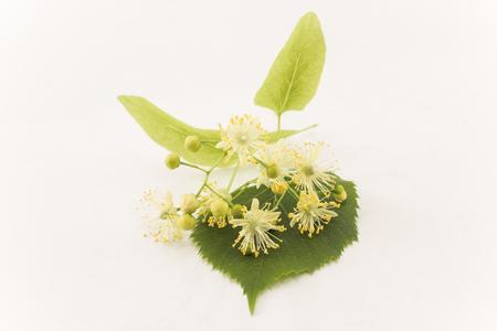 Linden Flowers on a White Background. Standard-Bild - 101534123