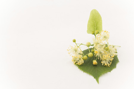 Linden Flowers with Copy Space.