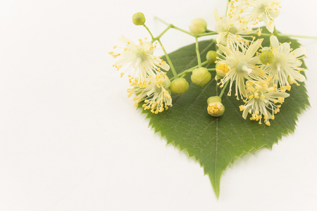 Linden Flowers on a White Background. Standard-Bild - 101534121