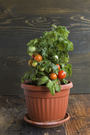 Cherry Tomatoes in a Pot. Standard-Bild - 106147780