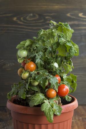 Cherry Tomatoes in a Pot. Standard-Bild - 106147783