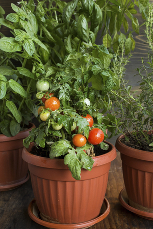 Herbal Garden with Cherry Tomatoes, Potted. Standard-Bild - 106147785