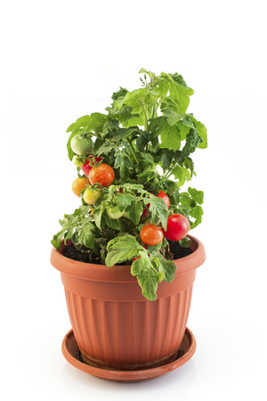 Cherry Tomatoes in a Pot Isolated on White. Standard-Bild - 106147792
