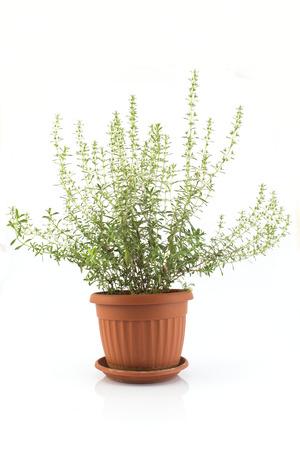 Summer Savory , Satureja Hortensis, Potted. Standard-Bild - 104837467