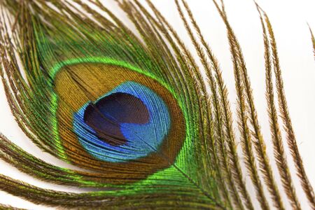 Peacock Feather on a White Background.