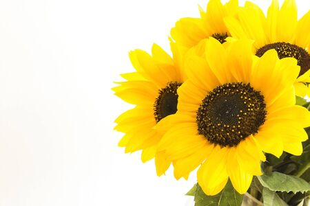 Sunflowers Isolated on White, Closeup. Imagens