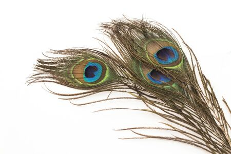 Peacock Feathers on a White Background.