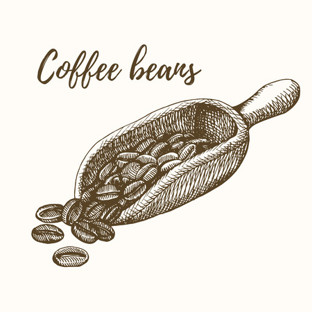 Coffee beans. Coffee beans sketch. Coffee beans hand drawn. Coffee beans vector illustration. Sketch of coffee beans. Coffee beans in scoop.