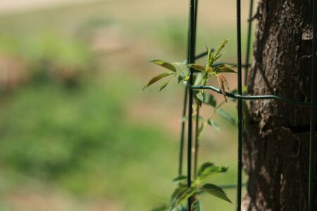 Photo of a rose growing safely next to a tree Stock Photo