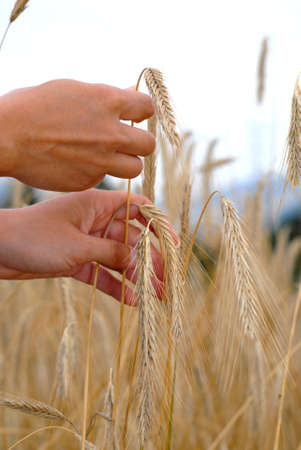 Holding the golden wheat Stock Photo - 1385647