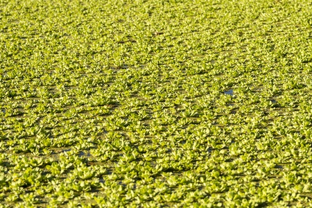 salvinia: Beautiful Water Lettuce Plants Floating on Pond as background texture  Stock Photo