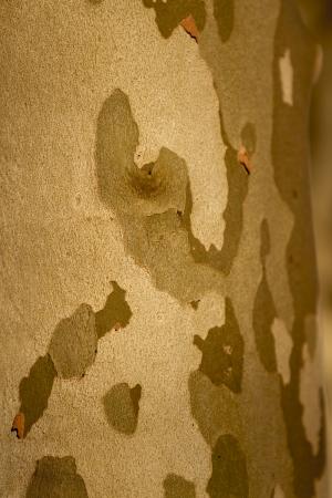 san isidro: Tree wood texture as background