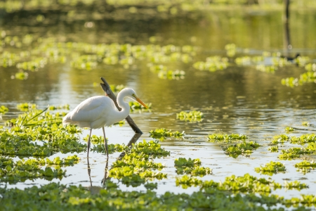 wader: White Heron on a lagoon
