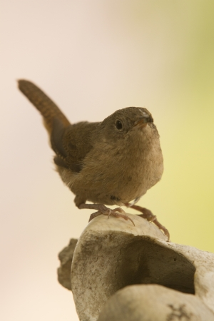 orden: Small little brown bird standing with natural background