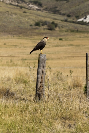 falconidae: Crested caracara on a fencepost about to fly  Stock Photo