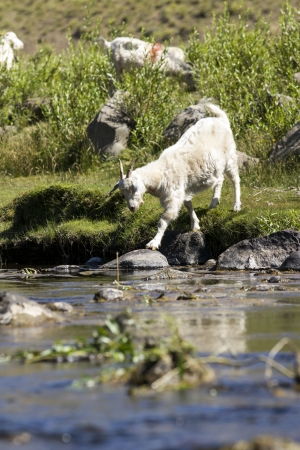 ruminate: Goat drinking water from the river  reflection  Stock Photo