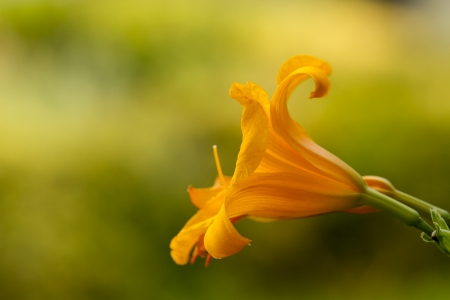 lilium flower, lirio, detail or orange yellow red flower in the garden with blurred green background  photo